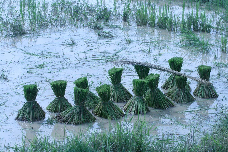 אגודות אורז מחכות לשתילה, קמבודיה