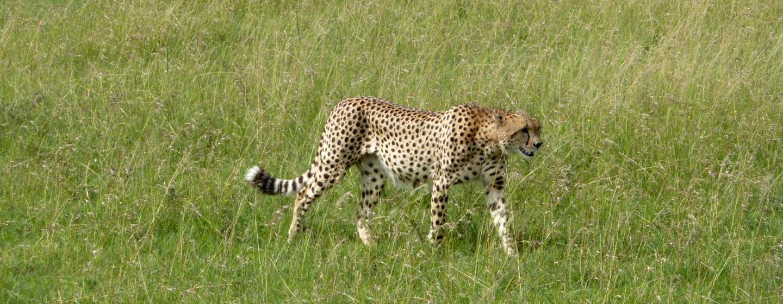 שמורת מסאי / קניה - צי'טה שוחרת לטרף