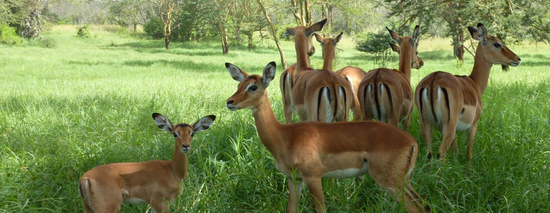שמורת סמבורו / קניה - אנטילופות בשמורה