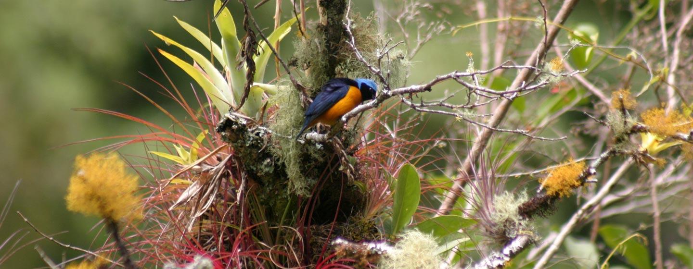 פנמה - ברומליות ביער עננים בצפון פנמה