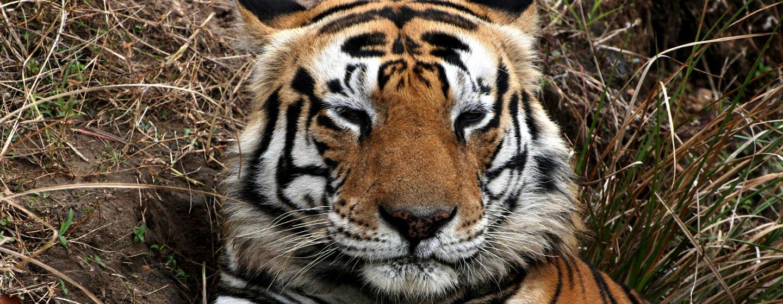 טיגריס זכר בשמורת טבע במרכז הודו