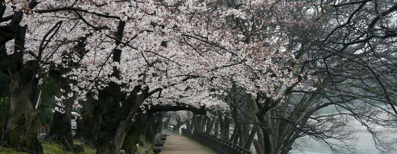 יפן - פריחת הדובדן בשדרה באוקייאמה