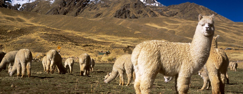 אלטיפלנו / פרו - אלפקות רועות באנדים