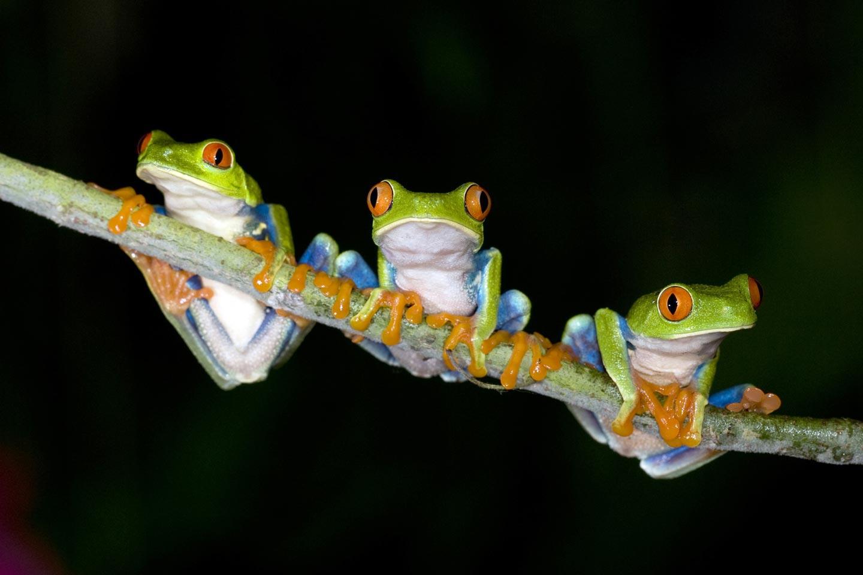 צפרדעים ביער עננים בשמורת מונטה ורדה, קוסטה ריקה