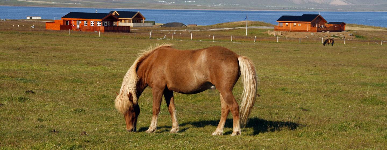 סוס איסלנדי