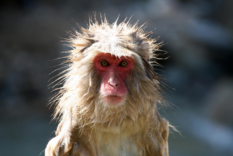 קוף מקוק באלפים היפניים, האי הונשו, יפן