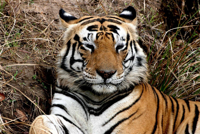 טיגריס זכר בוגר בשמורת טבע בהודו