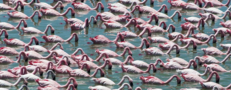 להקת פלמינגו בחיפוש אחר אוכל באגם