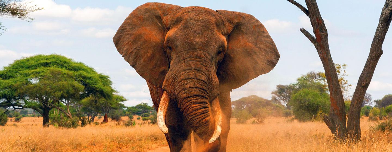 פיל בסוואנה