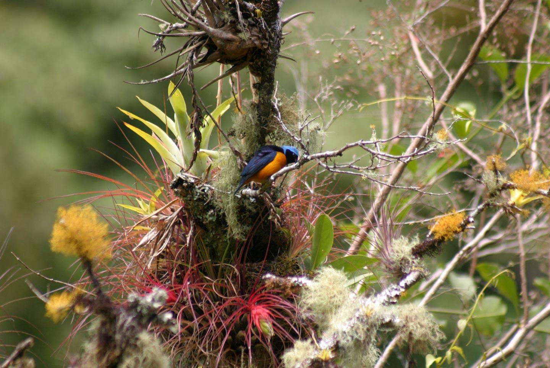 ברומליות ביער העננים , פנמה