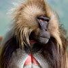 קוף ג'לדה בהרי סימיין