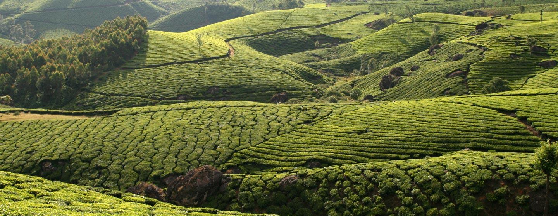 קראלה / הודו - מטעי תה בהרי הגת המערבי