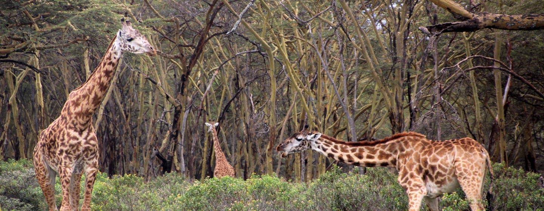 סמרובו / קניה - ג'ירפות בשמורת סמבורו