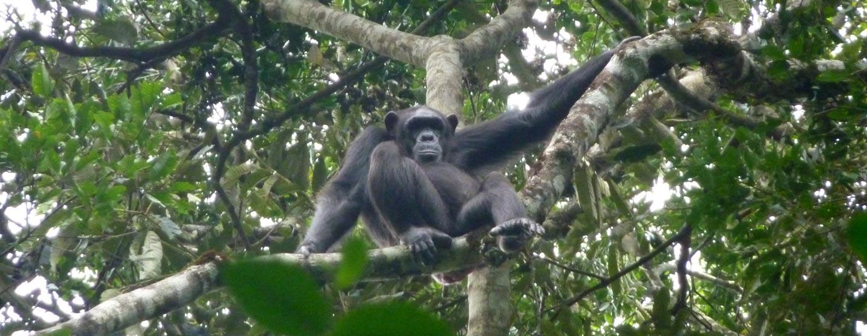 אוגנדה - שמורת שימפנזים