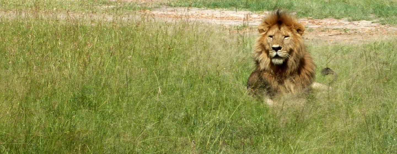 שמורת מסאי / קניה - אריה זכר בשמורת מסאי