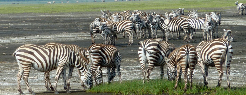 אגם ברינגו / קניה - זברות על שפת אגם ברינגו