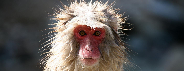 יפן - קוף מקוק בשמורה באלפים היפניים