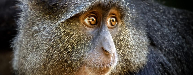 קוף גנון כחול (Cercopithecus mitis) בשמורת אגם מניארה, טנזניה