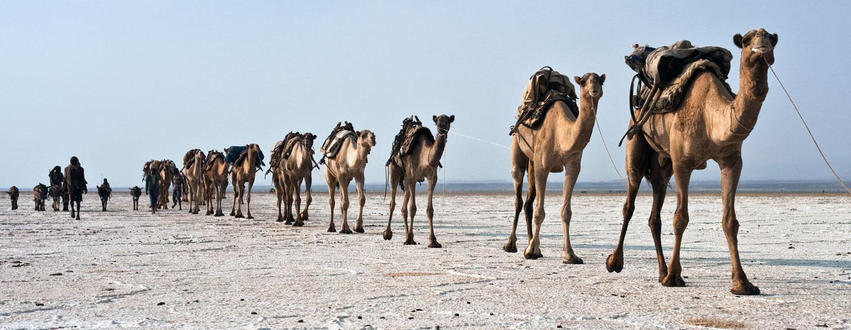 שיירת גמלים נושאי מלח במדבר דנקיל