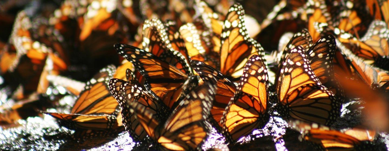 פרפרי המונארך חורפים במקסיקו
