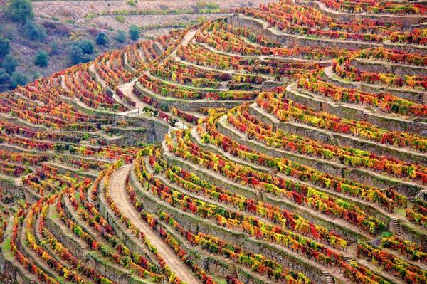 כרמי הענבים גדלים על טרסות בגבעות הסמוכות לנהר דואורו, פורטוגל