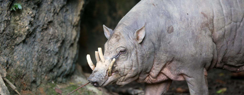 בבירוסה - חזיר בעל מערכת ניבים הבוקעת את הלסת העליונה. האי סוואווסי, אינדונזיה. צילום: ניסו קדם