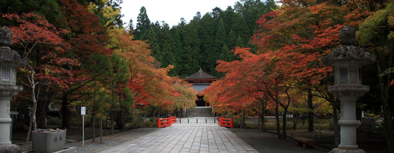 עצי מייפל תרבותיים בשלכת בהר קויה, האי הונשו, יפן